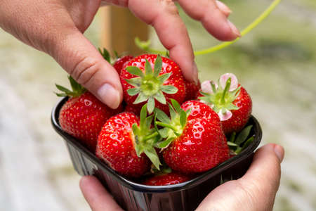 Harvest of fresh tasty ripe red strawberries growing on strawberry farm in greenhouse Banque d'images - 124905626