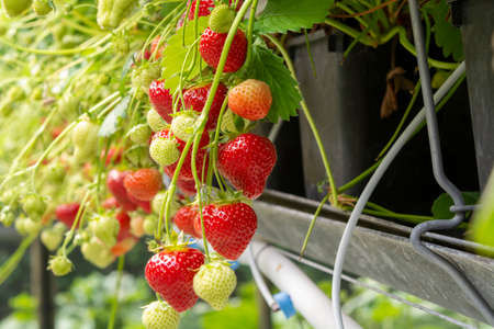 Fresh tasty ready for harvest ripe red and unripe green strawberries growing on strawberry farm in greenhouse Banque d'images - 124905566