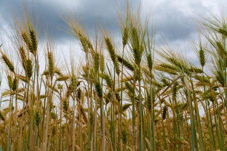 Barley of wheat golden yellow field in europe Reklamní fotografie - 124905571