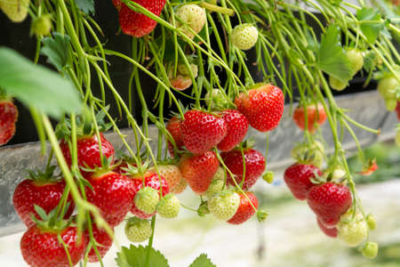 Fresh tasty ready for harvest ripe red and unripe green strawberries growing on strawberry farm in greenhouse Banque d'images - 124905575