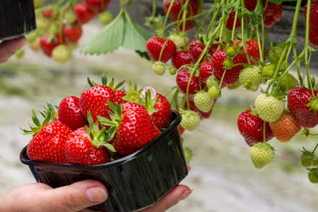Harvest of fresh tasty ripe red strawberries growing on strawberry farm in greenhouse Banque d'images - 124905526