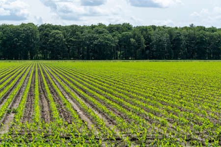 Young green corn mais plants growing on farming fields Stock Photo - 124905530
