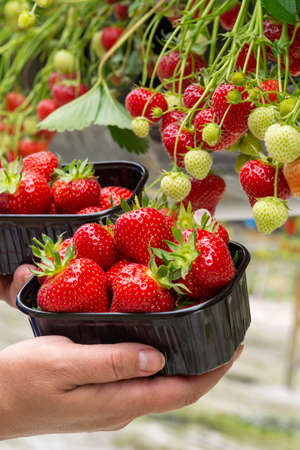Harvest of fresh tasty ripe red strawberries growing on strawberry farm in greenhouse Banque d'images - 124905538