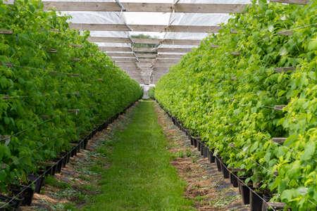 Piantagioni di piante di lampone verde in serra semiaperta