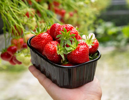 Harvest of fresh tasty ripe red strawberries growing on strawberry farm in greenhouse Banque d'images - 124905409