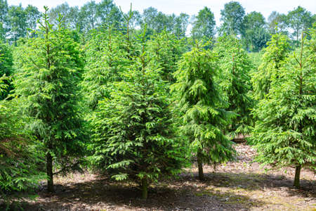 Plantation in Europe of high quality christmas trees, many green nordmann fir
