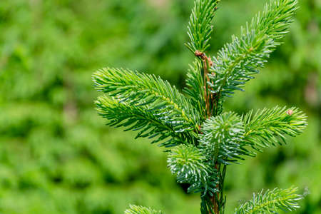 Background with high quality christmas trees, green nordmann fir close up