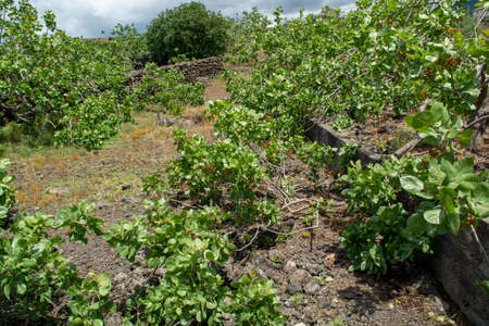 Cultivation of important ingredient of Italian cuisine, plantation of pistachio trees with ripening pistachio nuts near Bronte, located on slopes of Mount Etna volcano, Sicily, Italy