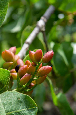 Cultivation of important ingredient of Italian cuisine, plantation of pistachio trees with ripening pistachio nuts near Bronte, located on slopes of Mount Etna volcano, Sicily, Italy, close up