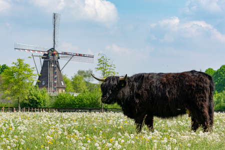 Countryside landscape with black scottish cow angus, pasture with wild flowers and traditional Dutch wind mill.