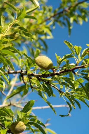 Green almond nuts ripening on tree, nature background with blue sky copy space