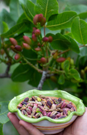 Sweet, delicate, fragrant nuts, Bronte pistachios with  brilliant green colour and pistachio tree with unripe nuts