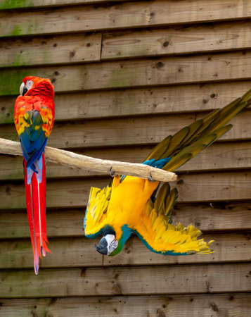 Macaw scarlet and blue-and-yellow parrots, long-tailed colorful exotic birds close up