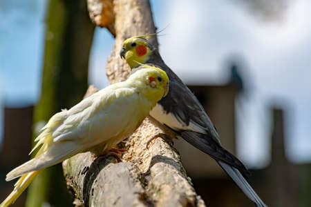 Cockateil, quarrion or weero parrots on thee, living in Australia close up