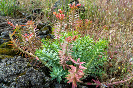 Flora of Mount Etna volcano, seasonal blossom Euphorbia rigida, gopher spurge, upright myrtle spurge flowers 免版税图像