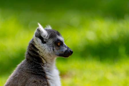 Ring-tailed lemur, lemur catta, sitting on green grass in zoo 스톡 콘텐츠