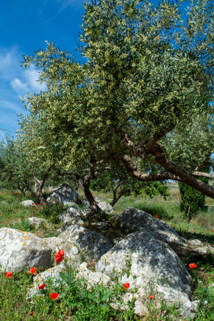 Olive trees growing on farm plantanions in Italy, production of extra virgine olive oil Banco de Imagens