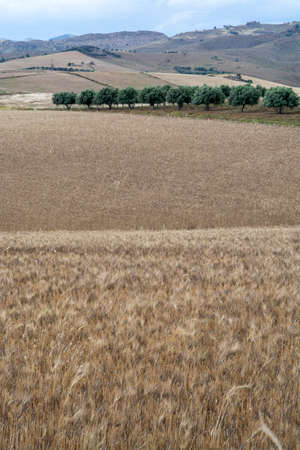 Fields with ripe golden pasta durum wheat in Sicily, Italy, ready for harvest Stock Photo