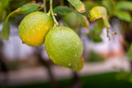 Unripe yello-green lemons citrus fruits hanging on lemon tree