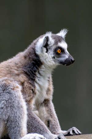Ring-tailed lemur, lemur catta, sitting on tree close up 스톡 콘텐츠