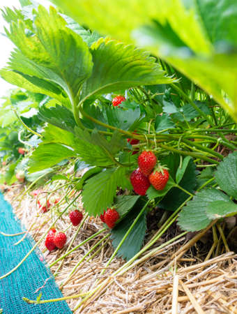 Strawberry fields in Germany, outdoor plantation with ripe sweet red strawberries ready for harvest Standard-Bild