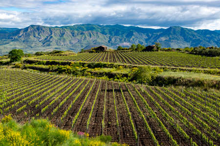 Landscape with green vineyards in Etna volcano region with mineral rich lava soil on Sicily, Italy Stock Photo