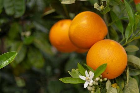 Orange citrus fruit plantations on Peloponnese, Greece, new harvest of sweet juicy oranges