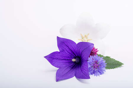 Purple bell flower and purple cornflowers close up, isolated on white background copy space