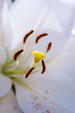 White lilium lily flowers, symbol of love and innocence close up Stock Photo
