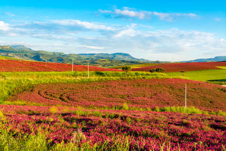 Landscape with red blossom of honey flowers sulla on pastures and  green wheat fields on hills of Sicily island, agriculture in South Italy Stock Photo