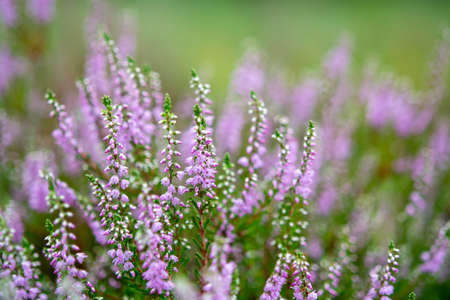 Blüte der Heidepflanze im Kempener Wald, Brabant, Niederlande, Nahaufnahme Standard-Bild