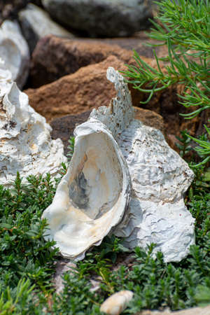 Coquilles d'huîtres blanches sauvages dans l'eau salée de la mer près de Goedereede, Zélande, Pays-Bas