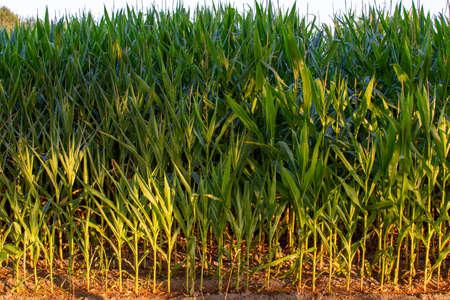 Green farm field with corn plants, organic corn plantations in Netherlands