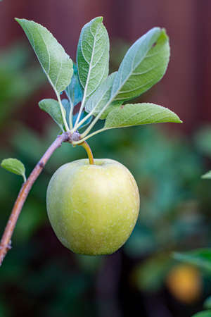 One small unripe green apple Golden Delicious on apple tree