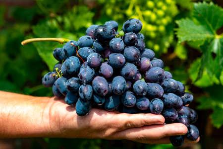Nuovo raccolto di vino blu, viola o rosso o uva da tavola, mano che tiene grappolo di uva matura su sfondo di piante di uva verde
