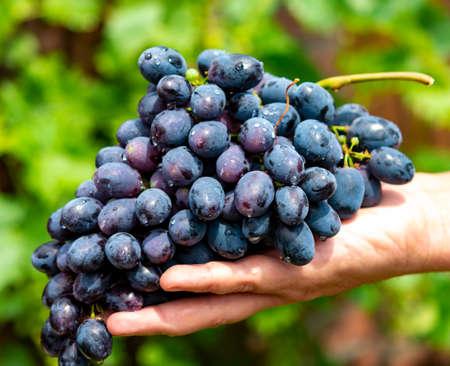 파란색, 보라색 또는 빨간색 와인 또는 테이블 포도의 새로운 수확, 녹색 포도 식물 배경에 잘 익은 포도 무리를 들고 손 스톡 콘텐츠