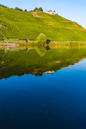 Landscape with famous green terraced vineyards in Mosel river valley, Germany, production of quality white and red wine, riesling 版權商用圖片