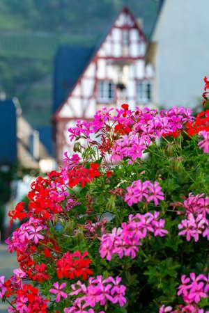 Colorful flowering geranium plants, street and house decoraion close up