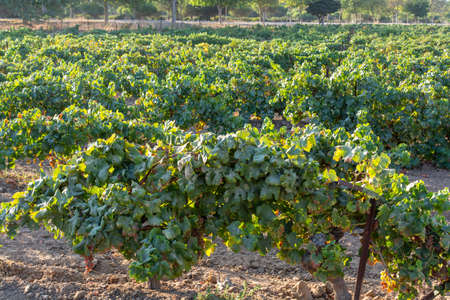 Vineyard in Andalusia, Spain, sweet pedro ximenes or muscat, or palomino grape plants, used for production of jerez, sherry sweet and fino wines Stock Photo