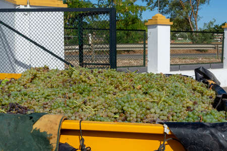 New harvest of ripe white grapes growing in vineyards in Andalusia, Spain, sweet pedro ximenes or muscat, or palomino grapes used for production of jerez, sherry sweet and dry fino wines Stock fotó
