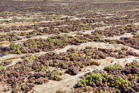 Traditional way of sun drying of sweet pedro ximenez or muscat grapes on winery fields, used for production of sweet sherry wines pedro ximenez and muscat, Jerez de la Frontera and Montilla, Andalusia, Spain Stock fotó