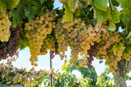 Ripe white grape growing in vineyard in Andalusia, Spain, sweet pedro ximenes or muscat, or palomino grape ready to harvest, used for production of jerez, sherry sweet and fino wines