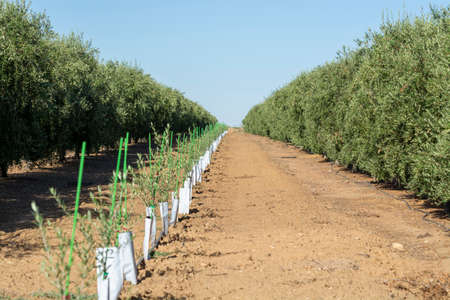 Olives and olive oil production, young olive trees growing on huge plantations in Andalusia, Cordoba, Jaen, Malaga, Spain Stock fotó