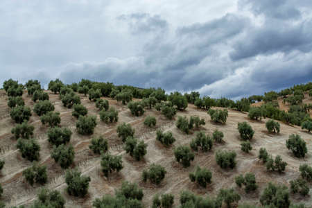 Olive trees growing on huge olive trees plantation on hills in Andalusia, Cordoba, Jaen, Malaga, Spain, olive oil production