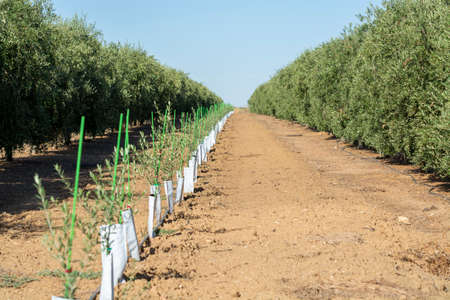 Olives and olive oil production, young olive trees growing on huge plantations in Andalusia, Cordoba, Jaen, Malaga, Spain 스톡 콘텐츠