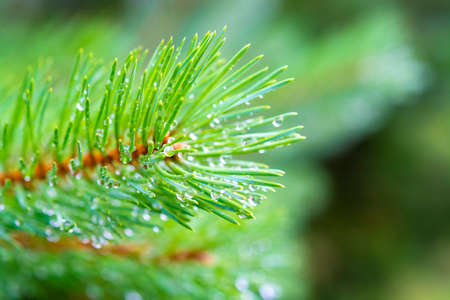 Young branch of green pine tree with many raindrops close up