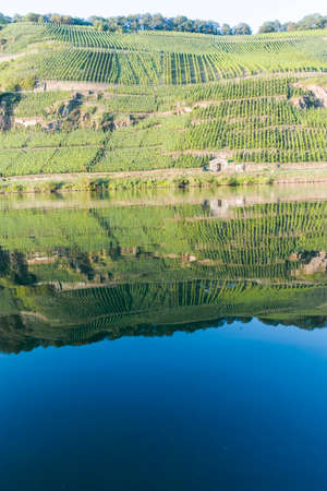 Landscape with famous green terraced vineyards in Mosel river valley, Germany, production of quality white and red wine, riesling Zdjęcie Seryjne