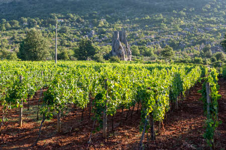 Vineyard with growing red or rose wine grapes in Lazio mountains, Italy, Sirah, Petit Verdot, Cabernet Sauvignon grapes