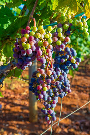 Grape plant on vineyard, growing red wine grapes in Italy, Sirah, Petit Verdot, Cabernet Sauvignon grapes