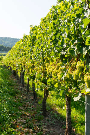 Vineyard with growing white wine grapes, riesling or chardonnay grapevines in summer Zdjęcie Seryjne